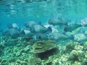 Schule von Büffelkopfpapageienfische
