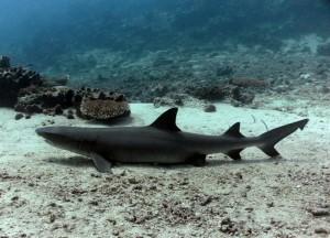 Weißspitzenriffhai auf Sipadan
